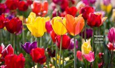 Tulips in bloom on a spring morning in Longview, Washington.  Photo by Renae Smith, Brush Prairie, Washington.