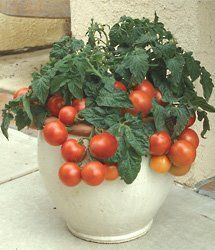 Tomato Container Gardening: Tricks for Growing Patio Tomatoes
