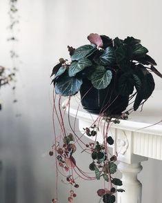 Shade Garden Flowers And Decor Ideas Saxifraga Stolonifera. Basically Couldnt Resist. Outdoor Plants, Potted Plants, Garden Plants, Air Plants, Cactus Plants, Inside Plants, Cool Plants, House Plants Decor, Plant Decor