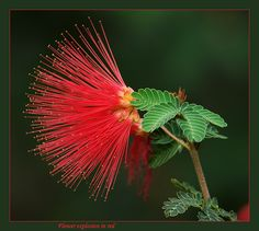 Calliandra (California Fairy Duster)