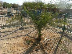 Crece un árbol extinto plantado de semillas que arqueólogos desenterraron en Israel - Diario Judío: Diario de la Vida Judía en México y el M...