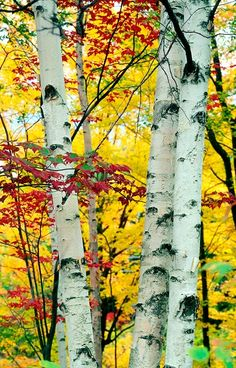 Magnificent birches stand tall amid Mother Nature's autumn leaves... (Thanksgiving, harvest, gratitude)