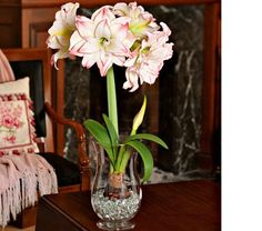 Amaryllis Aphrodite, one bulb, 11½″ hurricane vase, and no water