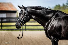 Dubarry is a 7 year old black registered Hanoverian stallion who stands at 17.0hh.