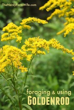 Foraging and Using Goldenrod to Make Tincture, Tea, Oil & Salve. The tincture and tea can be used to treat kidney stones, allergies and colds, while the oil and salve can be used for muscle aches & pains.