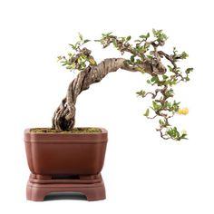 http://www.sothebys.com/es/auctions/2014/living-sculptures-art-bonsai-hk0551.html