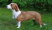 Drever breed info,Pictures,Characteristics,Hypoallergenic:No
