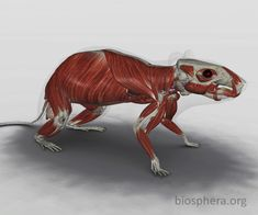 Anatomia do Rato: Musculatura