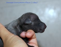 Litter V in the Sunnymoon Place kennel. Italian Greyhound puppies available. Italian Greyhound Puppies