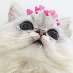 14 Cute Kittens Who Might Just Save the World - meowlogy Cute Funny Animals, Cute Baby Animals, Animals And Pets, Cute Cats, I Love Cats, Funny Cats, Cute Cat Memes, Cute Love Memes, Most Beautiful Cat Breeds