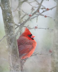 "Unlike the jay, this cardinal was trying to hide from me.  But, I persevered and finally got his picture.  Photographing birds really takes patience!  But on a snowy cold day from the comfort of my sunroom sipping hot chocolate, I can sit there all day with my camera.  I used ""sleet"" texture by Pareerica on this image."