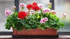 Geranium: A Beginner's Guide to Growing Geraniums Indoors Growing Geraniums, Enchanted Garden, Ficus, Garden Pots, Feng Shui, Indoor Plants, Gardening Tips, Floral Wreath, Backyard