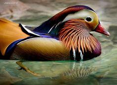 mandarin duck by Jaewoon U on 500px