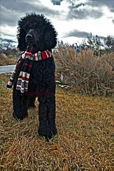 Poodle in scarf....perfect