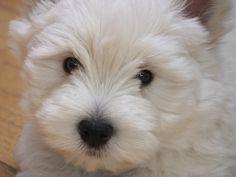West Highland White Terrier 8 weeks