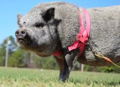 American Mini Pig Association was created to educate, advocate, protect miniature pigs, improve breeding practices. Pig Pics, Miniature Pigs, Cute Piglets, Small Pigs, Pot Belly Pigs, Mini Pigs, Fur Babies, Parents, Training
