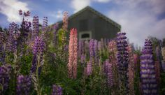 The lupins are everywhere all over New Zealand this time of year! Some of the locals think they are weeds; this is something I'll never understand. I even dug some of these weeds up and planted them around parts of my home, hoping they spring back up next year. It's gonna be great, I tell ya! :) Sure, they look a little scrabbly in the off season, but not so bad. - SAINT BATHENS, NEW ZEALAND - photo from #treyratcliff Trey Ratcliff at http://www.StuckInCustoms.com