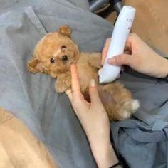 Cute Teacup Puppies, Cute Baby Puppies, Super Cute Puppies, Cute Small Dogs, Cute Funny Dogs, Cute Funny Animals, Baby Animals Pictures, Cute Animal Photos, Cute Animal Videos