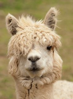 Curly bangs, Funny animal pictures