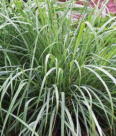Herb, Lemongrass   Lemongrass lends a fresh, fine, fragrant lemony tang with hints of ginger and mint. Adds bright, grassy, floral kick to curries, fish, shrimp, soups, stews, marinades and stir-fries. Use a ¼ teaspoon to make a refreshing tea, hot or cold. Or use in place of grated lemon rind in cookie and cake recipes. Lovely grass-like plant grows to 4 ft. in the first year. KITCHEN TIP: Before adding to dishes, slice lemongrass into rings or strips and bruise segments to release the…