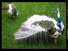 Le cri du paon qui fait aussi la roue/ Peacock call - YouTube