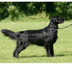 Miss my doggie!  Google Image Result for http://www.westminsterkennelclub.org/breedinformation/sporting/images/flatcoat.jpg