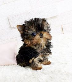 Baby animals puppies i want Ideas Cute Teacup Puppies, Super Cute Puppies, Baby Animals Super Cute, Cute Baby Dogs, Cute Little Puppies, Cute Dogs And Puppies, Cute Little Animals, Cute Funny Animals, Cute Cats