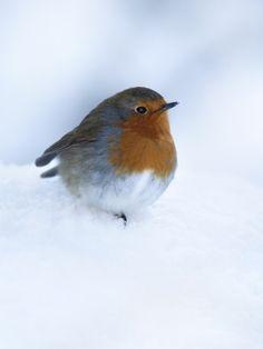 Robin (Erithacus Rubecula), in Snow Red Robin, Robin Bird, European Robin, All Birds, All Gods Creatures, Winter Photography, Bird Watching, Bird Feathers, Beautiful Birds