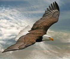 Bald Eagle Flying High