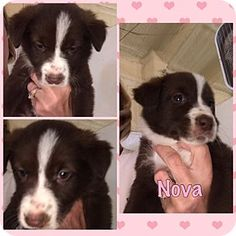 Folsom, LA - Border Collie/Labrador Retriever Mix. Meet Nova, a puppy for adoption. http://www.adoptapet.com/pet/17583656-folsom-louisiana-border-collie-mix