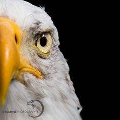 Eye   Bald Eagle . #baldeagle #eagle #birdsofprey