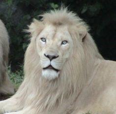 WHITE LIONS - MYTHOLOGY, HISTORY & GENETICS
