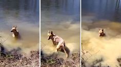 Bella The German Shepherd Throws Tantrum When It's Time To Get Out Of The Water And Go Home