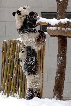Osos Panda en la nieve.