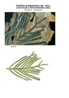 Le scoperte di Michael Wachtler La Voltzia dlle isolo vulcaniche