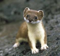 Baby short tailed weasel - photo#31