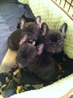 Frenchie Puppies Frenchie Puppies Frenchie Puppies