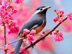 Cherry blossom and a bird