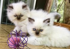 Ultra rare Chocolate point Himalayan Persian kittens available! Ready to go! $850 and up! Also have the Fancy Feast silver bloodlines!