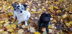 Die Institutshunde Pluto und Sally sind sehr verspielt und freuen sich besonders in der Herbstzeit in den Blättern herumzutollen <3 Führungskräfte Coaching, Dogs, Animals, Counseling Psychology, Career Training, Life Coaching, Public Health, Animales, Animaux
