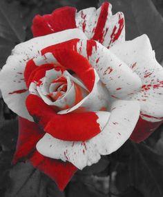 roses #aromabotanical