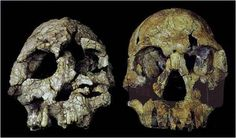 Orrorin tugenensis (Millenium man)  is considered to be the second-oldest (after Sahelanthropus) known hominin ancestor that is possibly related to modern humans, and it is the only species classified in genus Orrorin. Orrorin is significant because it can be an early bipedal hominin. The age of the specimen have been estimated to 6 to 5.8 million years.