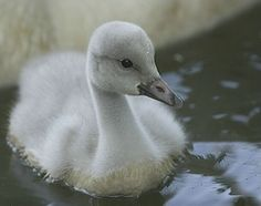 Baby Swan | Baby Swan - Photograph at BetterPhoto.com