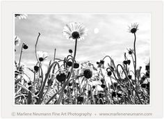 TOWARDS THE SUN.my latest image DAISIES.is a new experience in my Black and White collection. Love to hear how it makes you feel. Towards The Sun, Latest Images, Feeling Loved, Daisies, Fine Art Photography, New Experience, Photographs, African, Make It Yourself
