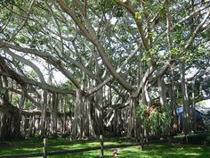 banyon trees entertwined at the winter edison and ford estates fort myers fl