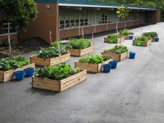 Love the idea of raised beds on concrete- School Garden