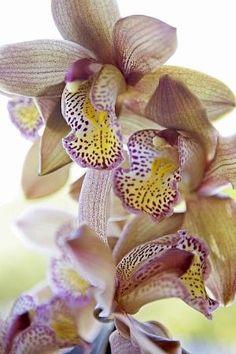 Cymbidium Orchid by Eva0707
