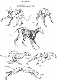 Greyhound dog anatomy reference and movement