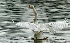 Swan spreading wings while swimming in the river
