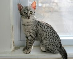 Egyptian Mau I would just LOVE her..